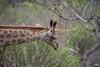 Jirafa (JaviJ.com) Tags: giraffe jirafa kruger park national south africa sudafrica fauna animales jirafas giraffes parque nacional