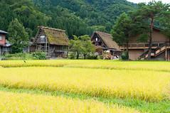 Paddy in Shirakawa (Wunkai) Tags: nogun gifuken japan shirakawa  paddy    ogimachi  thatchedroof