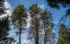 Three Sisters (axelkr) Tags: trees 3600x2250 3200x2000 2560x1600 2048x1280 1920x1200 1680x1050 1440x900 1280x800 1024x640 1610 widescreen wallpaper background