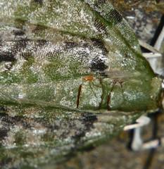 Xtra long leg Orange mite on a snout moth Airlie Beach rainforest P1110946 (Steve & Alison1) Tags: long leg orange mite snout moth airlie beach rainforest extra