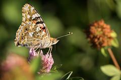 Le poseur (regisfiacre) Tags: vanessa cardui belle dame belledame papillon butterfly schmetterling insecte insect bugs macro canon 100mm nature ete summer meadow prairie trfle champs field