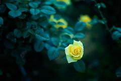 yellow rose (N.sino) Tags: m9 summilux50mm rose yellowrose