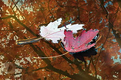 October colors (firstlookimages) Tags: nature natureportrait outdoors october colorful color closeup art artistic artisticmanipulation digitalmanipulation digitalart detail digitalphotography trees water waterreflections autumncolors fallseason hss