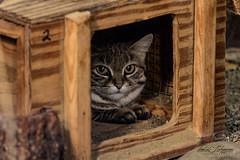 Black-Footed Cat (ToddLahman) Tags: blackfootedcat cat lowlight sandiegozoosafaripark safaripark canon7dmkii canon canon100400