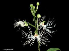 Habenaria medusa 'Ori Gem' (Dylan's Orchids) Tags: habenaria medusa ori gem