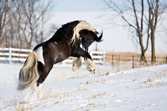 shelleypaulson_2009-188-1 (Shelley Paulson) Tags: equine gallop gypsyvanner horse minnesota snow winter
