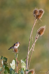 La vigie ..! (denis.loyaux) Tags: chardonneretlgant cardueliscarduelis europeangoldfinch passriformes fringillids domainedesoiseaux mazres midipyrnnes france oiseaux birds nikond5 nikkor200500f56