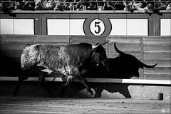 JP-05062016-184050-6172-como-objeto-inteligente-1 (Manon71) Tags: 5dejuniode2016 miura sanisidro2016 varios bullfight bulls lasventas tauromachie tauromaquia toreros toros espaa spain