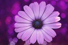 beauty on purple bokeh (C-Smooth) Tags: purple bokeh flower daisy macro nature garden beauty osteospermum botanical floral petals
