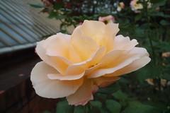 Apricot Nectar (kensrose7) Tags: apricot nectar rose