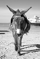 A donkey called Wanda (Avian Sky) Tags: donkey equine seaside westonsupermare beach sand pier uk britain holiday wanda aviansky canon7d monochrome animal walking approaching