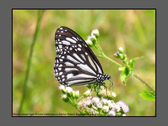 Butterflies-Sarawak (Douglas Dew butterflies) Tags: black veined tiger anosia melanippus