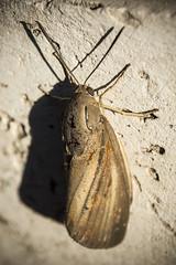 Falena Gigante (buonalaprima) Tags: falena moth big macro insect insetto