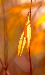 Light Up (paulapics2) Tags: autumn fall natural bright light illuminated nature garden hydehallgardens rhsgarden bokeh canoneos5dmarkiii sigma105mm leaves golden orange