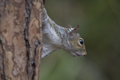 Eastern Gray Squirrel (DFChurch) Tags: eastern gray squirrel nature animal wild florida tree