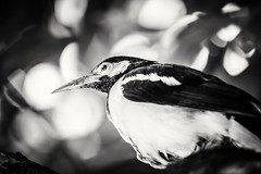 The portrait of a Myna - Common bird of beautiful Bangladesh! (Curious ClickZ of Rezwanul Alam) Tags: birdwatcher bird myna portrait canoneos70d lightroom trees bunches beautiful cute closeup feather bestoftheday photooftheday photography nopeople bnw blackwhite blackwhiteportrait