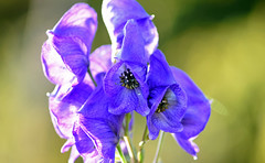 Beware The Dark Side (Lala Lands) Tags: monkshood aconitumnapellus highlypoisonous fromthedarkside lateautumnblooming goldenhour autumneveninglight bokeh dof nikkor105mmf28 nikond7200