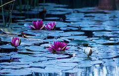 Seerosen (Gina Biernath) Tags: wassergarten wasserrose blume flower wasser water natur nature waterlily wassergartenreden saarland wow