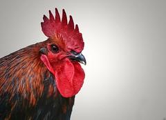 horoz (ercanpolat) Tags: animal nature natural natu horoz kirmizi krmz red flickr creative