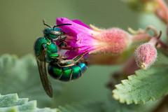 Green sweat bee (jim_mcculloch) Tags: dsc2354 ladybirdjohnsonwildflowercenter austin