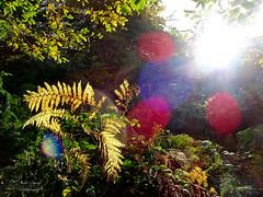 Sun flare in an English Woodland (David Tovey Photography) Tags: kent england woodland fern leaves sun flare lens backlight davidtovey davidtoveyphotography eyecacha forest eynsford