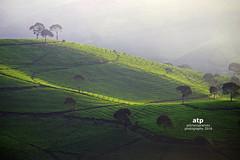DSCF2130 cukul (ali trisno pranoto) Tags: panganlengan westjava indonesia teaplantation