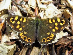 Butterfly 1092 (+400000 views!) Tags: butterfly borboleta farfalla mariposa papillon schmetterling