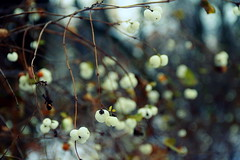 (zool18) Tags: winter macro mark2 amazing home awesome life nature canon green garden good outdoor color beauty botanic bokeh berry wood ukraine travels waxberry