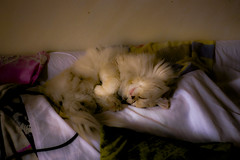 My cat cheez sleeping on the couch... (ImKruz) Tags: cat mycat sleeping pet couch comfy comfortable sleep sleepy cute fluffy cats fluffycat