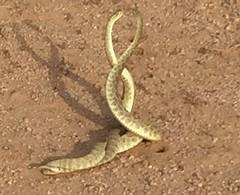 """Mohave Green Rattlesnakes """"fighting """" for territory (azbirdsandblooms) Tags: passages hiking battle mohave reptile goldenvalley mohavegreen desert arizona rattlesnake snakedance snake"""