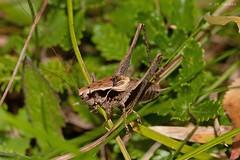 Pholidoptera griseoaptera (jp vacher) Tags: orthoptera ensifera tettigoniidae grasshopper pholidoptera griseoaptera