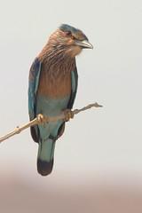 Indische scharrelaar - Coracias benghalensis - Indian roller (merijnloeve) Tags: indische scharrelaar coracias benghalensis indian roller bird nature birds natuur serene oman