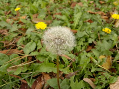 2016-10-25-7468 (vale 83) Tags: dandelion nokia n8 friends lunaphoto macrodreams colourartaward