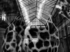 Zoo Antwerpen (Pascal Heymans) Tags: 2018 amberes antwerp antwerpen anvers belgica belgien belgique belgium belgi flandre flandres fotokunst selectie vlaanderen zoo blackandwhite bw city ciudad fotograaf photo photography reflectie stad stadt ville zw zwartwit be dmcgf1 pascalheymans