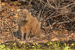 cutest Capybara (Jamie B Ernstein) Tags: nikon pantanal matogrosso brazil rioclaro rio river animal wild wildlife nature natural capybara cute mammal rodent fur furry brown tan clickcamera
