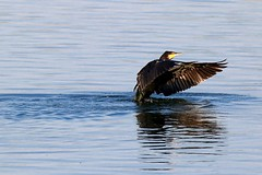 We have Lift-off... (robin denton) Tags: nature yorkshire wildlife bird yorkshirewildlifetrust ywt cormorant waterbird northcavewetlands