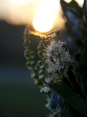 Suns woven cradle (harper.kim76) Tags: sunset foliage webs outdoor sun light