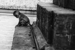 Things are looking up (cody.waldon) Tags: animals monkey monochrome blackandwhite nepal nature explore lines blackwhite tone travel life light swayambhunath monkeytemple vsco film