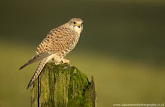 Kestrel (Alastair Marsh Photography) Tags: kestrel femalekestrel bird birds birdofprey birdsofprey animal animals animalsintheirlandscape wildlife sunlight sun sunshine sunrise farm farmland farmanimal farmanimals britishwildlife britishanimals britishanimal britishbirds britishbird