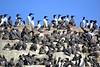 farne island birds
