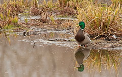 Un temps de canard... / Weather for ducks... (alain.maire) Tags: oiseau bird automne autumn anatidae anasplatyrhynchus canardcolvert mallard quebec nature canada