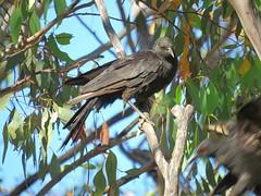 Corcorax melanorhamphos 4 (barryaceae) Tags: barraba nsw australia bird birds aves australianbirds ausbirds ausbird whitewinged chough corcorax melanorhamphos tarpolytravellingstockreserve