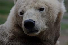 The little polar bear (VIII) (dididumm) Tags: little polarbear ursusmaritimus sad face gesicht traurig eisbr polarbr klein ifiranthezoo