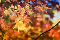 Fall Performance (jasohill) Tags: autumn october color nature leaf city 2016 iwate orange red beautifu japanese hachimantai photography life vibrant japan fallen canoneos80d