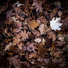 feuilles mortes (jemazzia) Tags: extérieur outside feuillage