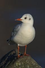 Black-headed Gull (Margaret S.S) Tags: seagull blackheaded gull