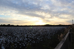 Sunset over the Cotton Field (photosbysusan!) Tags: 201611 fairhope alabama cottonfield sunset flickrestrellas spiritofphotography