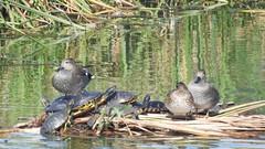 Schildkröten und Schnatterenten - eine tolle Szene, die Michael da eingefangen hat! (fotoculus) Tags: schildkröte tortuga portugal algarve quintadelago riaformosa vögel birds loiseaux