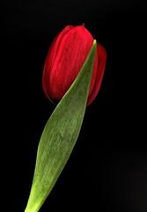 Turkish Delight (louise peters) Tags: tulip tulp turkishdelight red rood flower onblack bloem spring lente