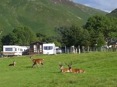 Deer, Lochranza Golf Course, Isle of Arran, Aug 2015 (allanmaciver) Tags: golf island amazing watch course deer sit wait caravan arran lochranza allanmaciver